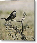 A Juvenile Hobby Perches On A Branch Metal Print by Klaus Nigge