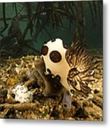 A Large Nudibranch Feeds On A Sponge Metal Print by Tim Laman