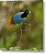 A Male Blue Bird Of Paradise Perched Metal Print by Tim Laman
