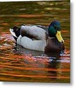 A Male Mallard Duck Drinking.  Fall Metal Print by Darlyne A. Murawski