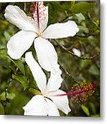 A Native Hawaiian Hibiscus Arnottianus Metal Print by Taylor S. Kennedy