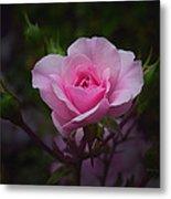 A Pink Rose Metal Print by Xueling Zou