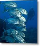 A School Of Bigeye Trevally, Papua New Metal Print by Steve Jones