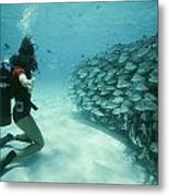 A School Of Grunts Swims By A Diver Metal Print by Nick Caloyianis