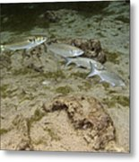 A Small School Of Grey Mullet Swim Metal Print by Terry Moore