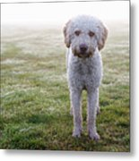 A Spanish Water Dog Standing A Field Metal Print by Julia Christe