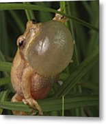 A Spring Peeper Faces The Camera Metal Print by George Grall
