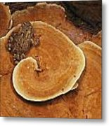A Toad Sits On A Wooly Velvet Polypore Metal Print by Darlyne A. Murawski