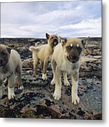 A Trio Of Growling Husky Puppies Metal Print by Paul Nicklen