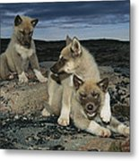 A Trio Of Playful Husky Puppies Metal Print by Paul Nicklen