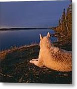 A White Husky Gazes At The Water Metal Print by Paul Nicklen