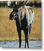 A Young Bull Moose Metal Print by George F. Herben