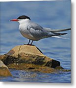 Adult Common Tern Metal Print by Tony Beck