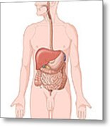 Adult Male Digestive System Metal Print by Science Source