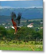 African Fish Eagle Flying Metal Print by Anna Omelchenko