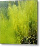 Algae Metal Print by Alexis Rosenfeld