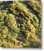 Algae Bloom In A Pond Metal Print by Photo Researchers, Inc.
