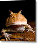 Amazonian Horned Frog Metal Print by Dant� Fenolio