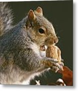An Eastern Gray Squirrel Sciurus Metal Print by Chris Johns