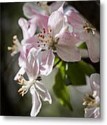 Apple Blossom Metal Print by Ralf Kaiser