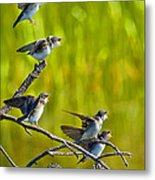 Baby Tree Swallows Feeding #1 Metal Print by John Stoj