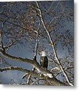 Bald Eagle In A Tree Metal Print by Con Tanasiuk