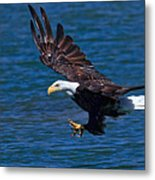 Bald Eagle On The Hunt Metal Print by Beth Sargent