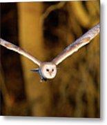 Barn Owl In Flight Metal Print by MarkBridger