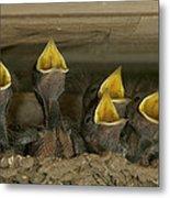 Barn Swallow Hirundo Rustica Chicks Metal Print by Cyril Ruoso