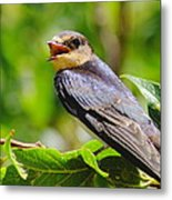 Barn Swallow In Sunlight Metal Print by Robert Frederick