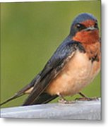 Barn Swallow Metal Print by Laurel Talabere