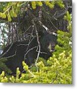 Bear In A Tree Metal Print by Charles Warren