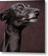 Beautiful Whippet Dog Metal Print by Ethiriel  Photography