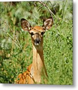 Being Watched Metal Print by Ernie Echols