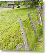 Belted Galloway Cows Farm Rockport Maine Metal Print by Keith Webber Jr