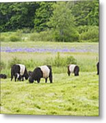 Belted Galloway Cows Pasture Rockport Maine Photograph Metal Print by Keith Webber Jr