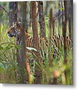 Bengal Tiger  17-month Old Metal Print by Richard Packwood