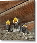 Birds In Nest Picture Metal Print by Preda Bianca