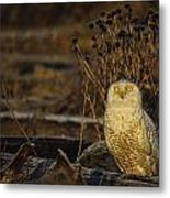 Birds Of Bc - No.12 - Snowy Owl - Bubo Scandiacus Metal Print by Paul W Sharpe Aka Wizard of Wonders