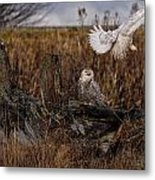 Birds Of Bc - No.14 - Snowy Owl Fly By Metal Print by Paul W Sharpe Aka Wizard of Wonders