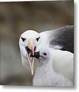 Black Browed Albatross Preparing Metal Print by Suzi Eszterhas