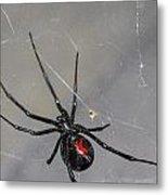 Black Widow Spider Metal Print by Scott McGuire