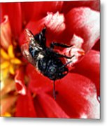 Blue Orchard Bee Metal Print by Science Source