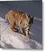Bobcat Felis Rufus Prowls Over The Snow Metal Print by Dr. Maurice G. Hornocker