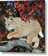 Bobcat Walks On Branch Through Hawthorn Metal Print by David Ponton