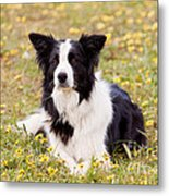 Border Collie In Field Of Yellow Flowers Metal Print by Michelle Wrighton
