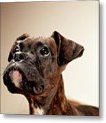 Boxer Puppy Metal Print by Chad Latta