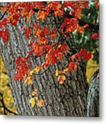 Bright Red Maple Leaves Against An Oak Metal Print by Tim Laman