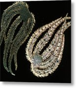 Brittle Stars Metal Print by Lucent Technologies' Bell Labs
