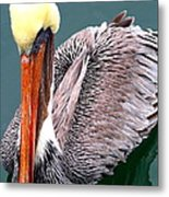 Brown Pelican . 7d8287 Metal Print by Wingsdomain Art and Photography